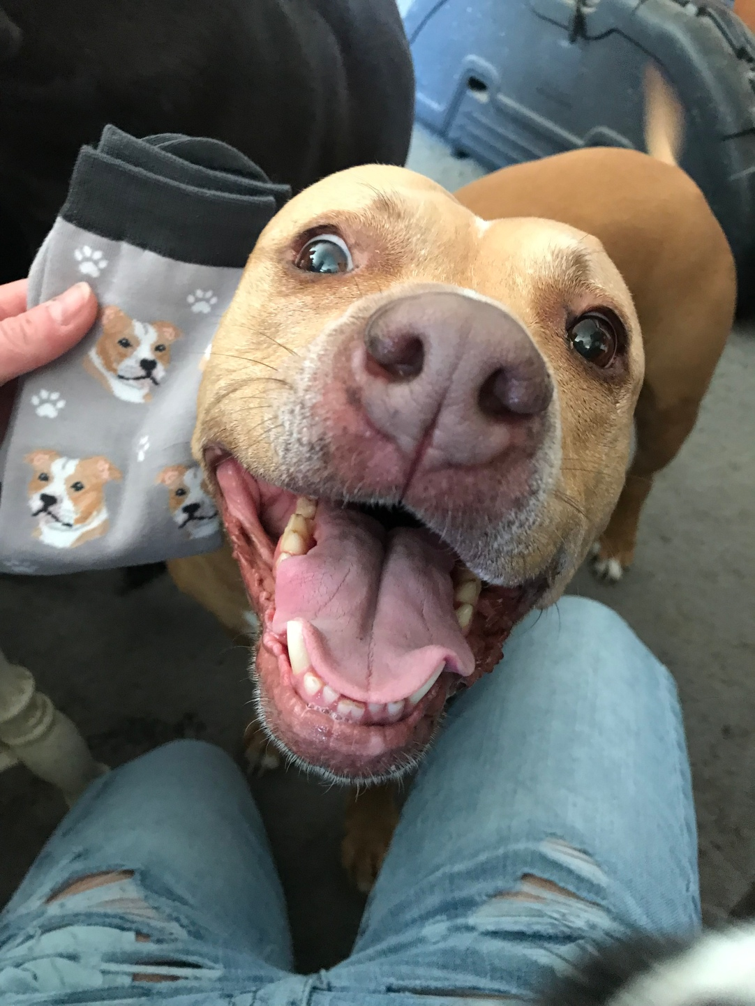 Essie approves of my Pitbull sockes from Mom