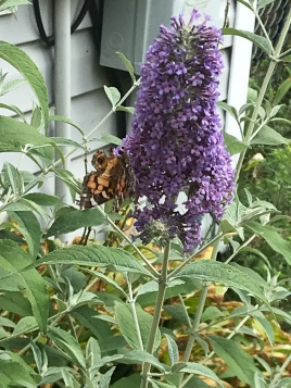 My butterfly bush is finally in bloom. The butterflies are grateful.