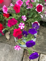 All my petunias jusr keep blooming and blooming!