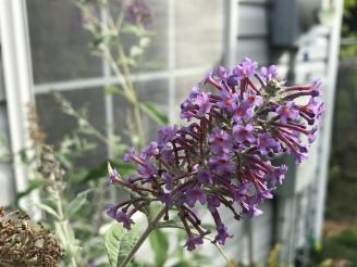 Butterfly bush is stiil blooming