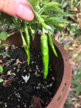 More peppers!