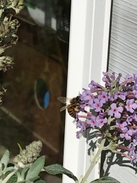My butterfly bush still has blossoms and thus visitors